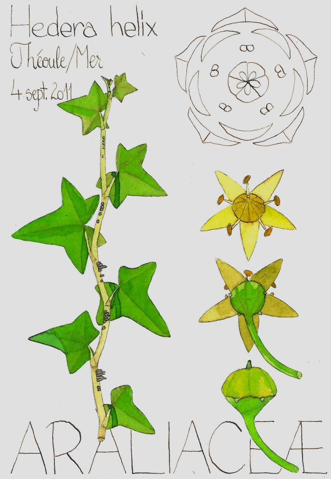 plante grimpante ligneuse