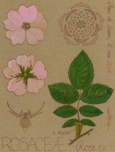 l'Églantier (Rosa canina, ROSACEAE), arbuste capable de grimper grâce à ses aiguillons crochus (dessin Paul-Robert TAKACS)