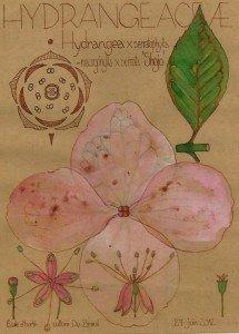 Hydrangea x serratophylla 'Shojo' (dessin Paul-Robert TAKACS)