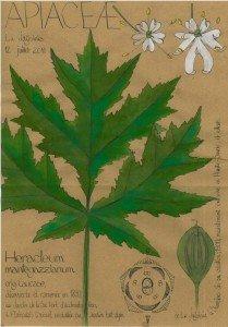 la Berce du Caucase, Heracleum mantegazzianum (APIACEAE) plante invasive (dessin Paul-Robert TAKACS)