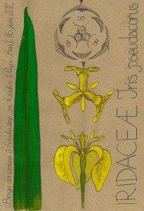 l'Iris des marais, Iris pseudacorus (IRIDACEAE) : l'une des plus belles plantes de berge indigènes ! (dessin Paul-Robert TAKACS)