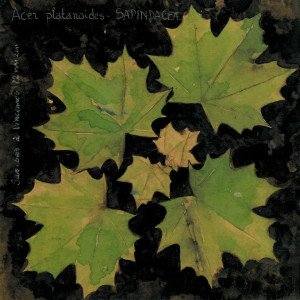disposition des feuilles (opposées-décussées) sur la tige principale d'un jeune érable Acer platanoides en sous-bois (dessin Paul-Robert TAKACS)