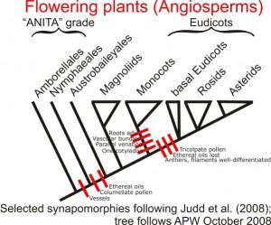 synapomorphies chez les premières Angiospermes