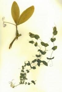 vrilles de Lathyrus latifolius et Lathyrus aphaca (Herbier pédagogique Paul-Robert TAKACS)