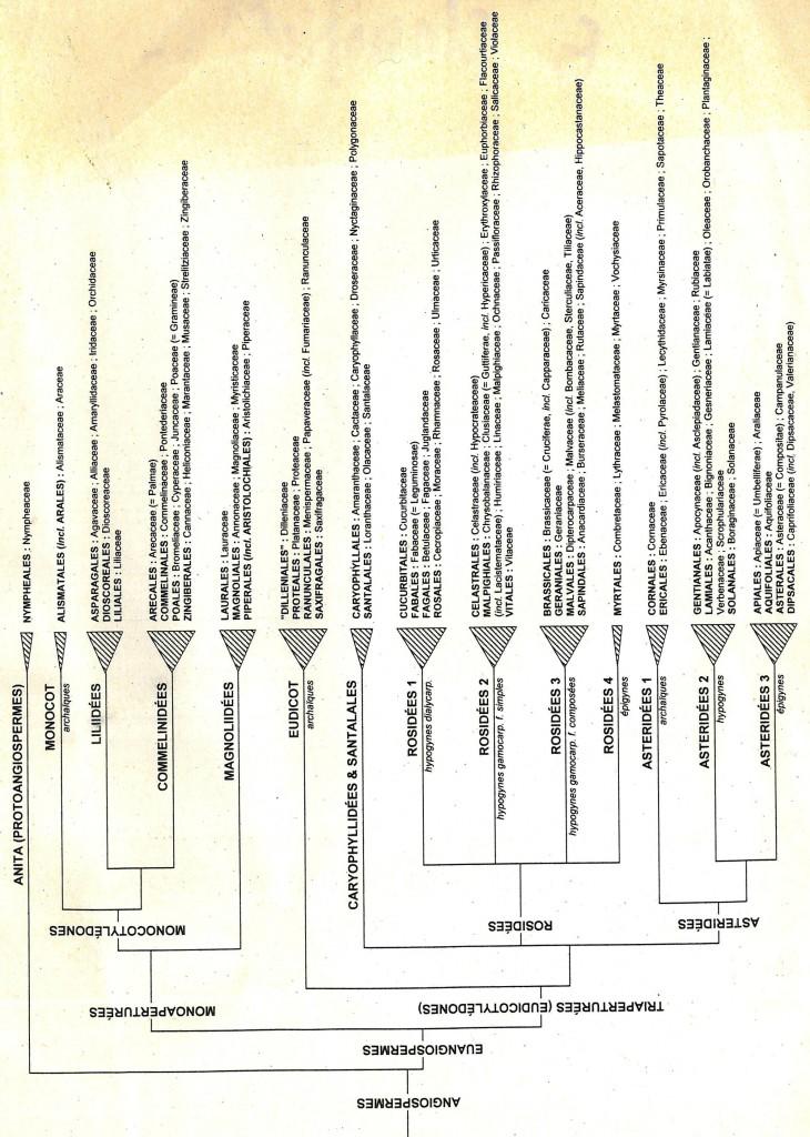 Classification phylogénétique des Angiospermes