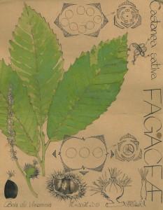 FAGACEES : famille des Chênes, Hêtres, Châtaigniers... dans F fagaceae-castanea-sativa-version-2-233x300