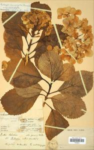 planche-dherbier-de-lhortensia-par-commerson-189x300 dans d. visiter jardins, salons & expositions