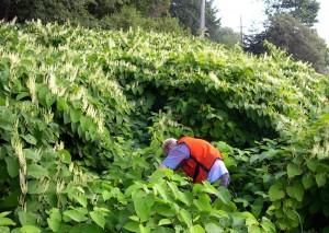 la Renouée du Japon : plante invasive