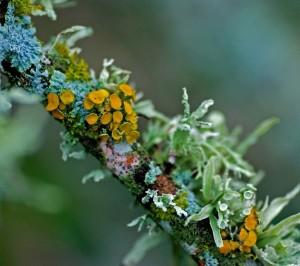 LICHENS : certains ont pour symbiote une algue verte dans 1. Algues